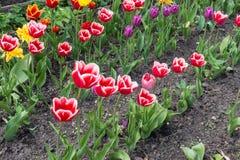 Όμορφες ρόδινες και πορφυρές τουλίπες στο πάρκο Στοκ εικόνα με δικαίωμα ελεύθερης χρήσης