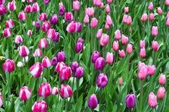 Όμορφες ρόδινες τουλίπες Ρόδινες τουλίπες στον κήπο Στοκ Εικόνες