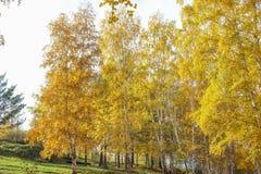 Όμορφες σημύδες φθινοπώρου Στοκ Φωτογραφίες