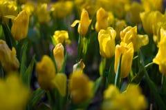 όμορφες τουλίπες ανθοδεσμών ζωηρόχρωμος στον κήπο στο εκλεκτικό foc Στοκ Φωτογραφία