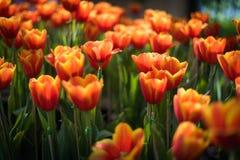όμορφες τουλίπες ανθοδεσμών ζωηρόχρωμος στον κήπο στο εκλεκτικό foc Στοκ εικόνα με δικαίωμα ελεύθερης χρήσης