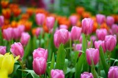 όμορφες τουλίπες ανθοδεσμών ζωηρόχρωμος στον κήπο στο εκλεκτικό foc Στοκ φωτογραφία με δικαίωμα ελεύθερης χρήσης