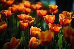 όμορφες τουλίπες ανθοδεσμών ζωηρόχρωμος στον κήπο στο εκλεκτικό foc Στοκ Εικόνες
