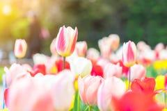 Όμορφες τουλίπες κάτω από το φως του ήλιου στο πάρκο Στοκ εικόνα με δικαίωμα ελεύθερης χρήσης