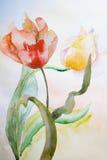 όμορφες τουλίπες λουλουδιών Στοκ εικόνα με δικαίωμα ελεύθερης χρήσης