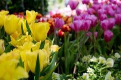 όμορφες τουλίπες ανθοδεσμών ζωηρόχρωμες τουλίπες τουλίπες την άνοιξη, ζωηρόχρωμος κήπος τουλιπών Στοκ εικόνες με δικαίωμα ελεύθερης χρήσης