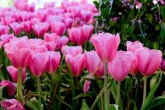 όμορφες τουλίπες ανθοδεσμών ζωηρόχρωμες τουλίπες τουλίπες την άνοιξη, ζωηρόχρωμος κήπος τουλιπών Στοκ Φωτογραφίες