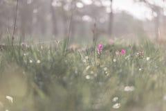 Όμορφες τουλίπες του Σιάμ Στοκ Εικόνες