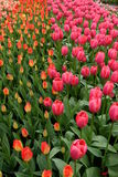 Όμορφες τουλίπες Στοκ φωτογραφία με δικαίωμα ελεύθερης χρήσης
