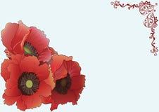 Όμορφες τρεις κόκκινες παπαρούνες Στοκ φωτογραφίες με δικαίωμα ελεύθερης χρήσης