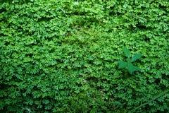 Όμορφες φρέσκες πράσινες φτέρες επίγειας κάλυψης, φυσικό υπόβαθρο ταπήτων με άλλες εγκαταστάσεις Στοκ Εικόνες