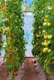 Όμορφες φυσικές αυξημένες εγκαταστάσεις της ντομάτας Στοκ Εικόνα