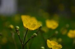 Όμορφες φωτεινές κίτρινες νεραγκούλες λουλουδιών σε έναν τομέα στοκ εικόνα με δικαίωμα ελεύθερης χρήσης