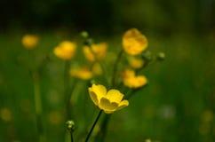 Όμορφες φωτεινές κίτρινες νεραγκούλες λουλουδιών σε έναν τομέα στοκ φωτογραφίες με δικαίωμα ελεύθερης χρήσης