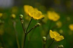 Όμορφες φωτεινές κίτρινες νεραγκούλες λουλουδιών σε έναν τομέα στοκ φωτογραφίες