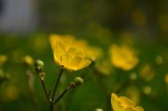 Όμορφες φωτεινές κίτρινες νεραγκούλες λουλουδιών σε έναν τομέα στοκ φωτογραφία