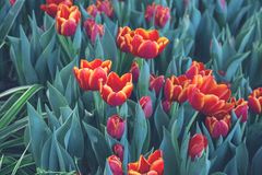 Όμορφες φωτεινές κόκκινες τουλίπες στοκ εικόνες