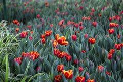 Όμορφες φωτεινές κόκκινες τουλίπες Στοκ εικόνα με δικαίωμα ελεύθερης χρήσης