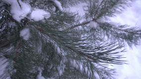 Όμορφες χιονισμένες δέντρα και βελόνα πεύκων που καλύπτεται με τον άσπρο παγετό απόθεμα βίντεο