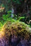 Ανάπτυξη βρύου σε ένα κούτσουρο στοκ εικόνα