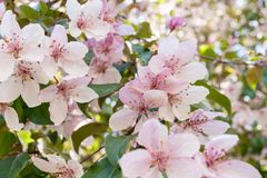Όμορφη άνθηση χλωμή - ρόδινη κινηματογράφηση σε πρώτο πλάνο λουλουδιών sakura Στοκ Εικόνες
