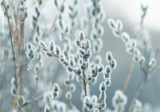 όμορφη άνθιση κλάδων ιτιών Πάσχας την πρώιμη άνοιξη Στοκ Φωτογραφίες