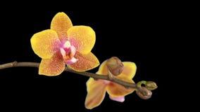 Όμορφη άνθιση λουλουδιών ορχιδεών απόθεμα βίντεο