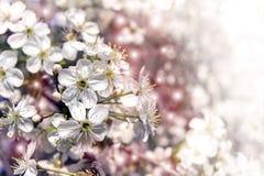 όμορφη άνοιξη ανασκόπησης Άνθος κερασιών στην πλήρη άνθιση Στοκ Εικόνα