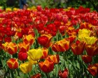 όμορφη άνοιξη λουλουδιών ζωηρόχρωμες τουλίπες λεπτομερές ανασκόπηση floral διάνυσμα σχεδίων Στοκ φωτογραφία με δικαίωμα ελεύθερης χρήσης