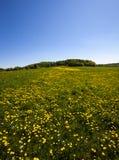 όμορφη άνοιξη λουλουδιών πεδίων πικραλίδων Στοκ εικόνες με δικαίωμα ελεύθερης χρήσης