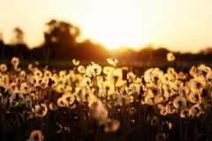 όμορφη άνοιξη λουλουδιών πεδίων πικραλίδων Στοκ φωτογραφία με δικαίωμα ελεύθερης χρήσης