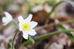 όμορφη άνοιξη στιγμής λουλουδιών anemone snowdrop Anemone Snowdrop Στοκ Φωτογραφία