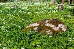 όμορφη άνοιξη στιγμής λουλουδιών anemone snowdrop Anemone Snowdrop λιβάδι και μεγάλη πέτρα Στοκ φωτογραφία με δικαίωμα ελεύθερης χρήσης