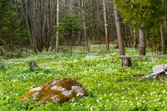 όμορφη άνοιξη στιγμής λουλουδιών anemone snowdrop Anemone Snowdrop λιβάδι και μεγάλη πέτρα Στοκ Εικόνες