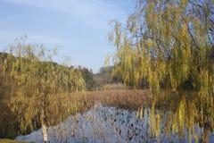 Όμορφη άποψη με την κίτρινη ιτιά το ηλιόλουστο απόγευμα στοκ φωτογραφίες