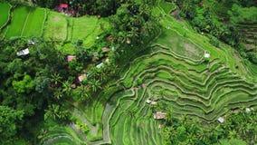 Όμορφη άποψη πεζουλιών ρυζιού από την κορυφή βλαστός με τον κηφήνα μια ηλιόλουστη ημέρα απόθεμα βίντεο