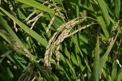 Όμορφη άποψη στις συστάδες της μαύρης χρωματισμένης φυτείας ρυζιού venere σε μια ηλιόλουστη θερινή ημέρα στοκ εικόνες