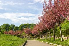 Όμορφη άποψη της αλέας των ανθών κερασιών του δέντρου sakura, υπόβαθρο φανταστικό floral δέντρο άνοιξη ζευγών ανασκόπησης birdies στοκ εικόνα