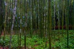 Όμορφη άποψη του δάσους μπαμπού σε Arashiyama, Κιότο, Ιαπωνία Στοκ Φωτογραφίες