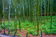 Όμορφη άποψη του δάσους μπαμπού σε Arashiyama, Κιότο, Ιαπωνία Στοκ φωτογραφία με δικαίωμα ελεύθερης χρήσης