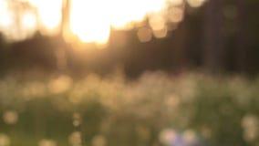 Όμορφη άποψη του λιβαδιού πικραλίδων στον ήλιο απόθεμα βίντεο