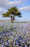 Όμορφη άποψη των λουλουδιών μπλε ματιών μωρών nemophila στο πάρκο παραλιών, Ibaraki Στοκ φωτογραφία με δικαίωμα ελεύθερης χρήσης