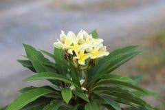 Όμορφη άσπρη κίτρινη άνθιση λουλουδιών plumeria Στοκ Εικόνα