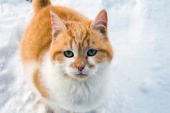 Όμορφη άσπρη και κόκκινη γάτα στο χιόνι στοκ φωτογραφίες