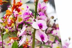 Όμορφη άσπρη και πορφυρή κινηματογράφηση σε πρώτο πλάνο υποβάθρου λουλουδιών ορχιδεών Στοκ φωτογραφία με δικαίωμα ελεύθερης χρήσης