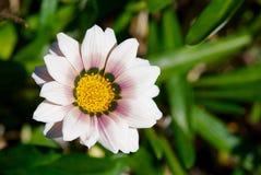 Όμορφη άσπρη κινηματογράφηση σε πρώτο πλάνο λουλουδιών μαργαριτών Στοκ Φωτογραφία