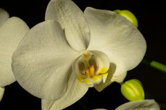 Όμορφη άσπρη μακρο φωτογραφία λουλουδιών ορχιδεών Στοκ Φωτογραφία