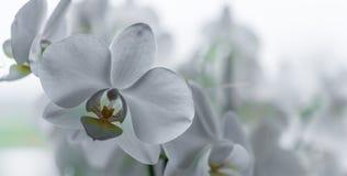 Όμορφη άσπρη ορχιδέα σε έναν πανοραμικό πυροβολισμό στοκ εικόνες