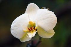 Όμορφη άσπρη ορχιδέα Στοκ Φωτογραφίες