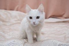 Όμορφη άσπρη συνεδρίαση γατών στο κρεβάτι Στοκ Εικόνα